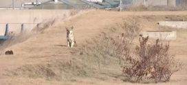 Animal rights activists want state officials to leave coyote roaming near LaGuardia alone – NY1