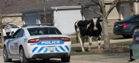 Lost cows on loose in Hampshire subdivision; police corral roaming bovines – Chicago Tribune